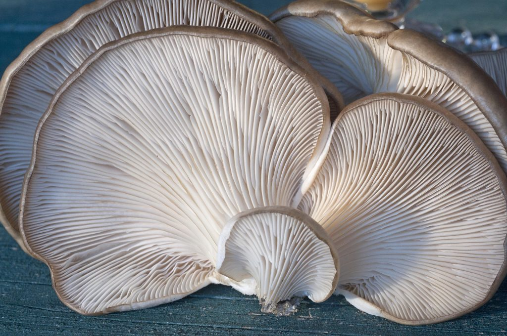 types of mushrooms: oyster